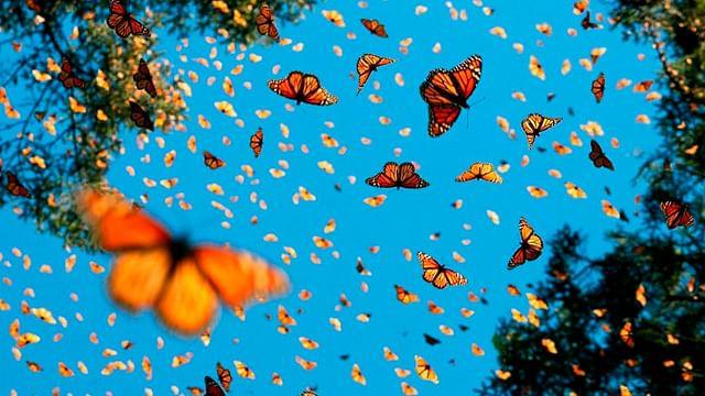 Mariposas monarca inician regreso a Canadá desde Michoacán