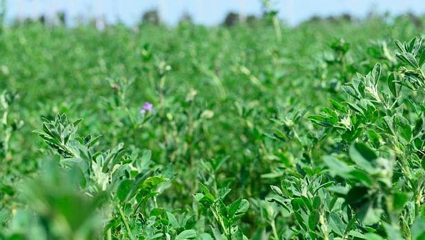Produce Michoacán casi 362 mil toneladas de alfalfa