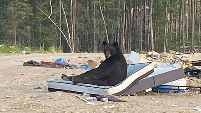 ¡Como el comercial! Captan a oso muy cómodo en colchón abandonado [FOTOS]