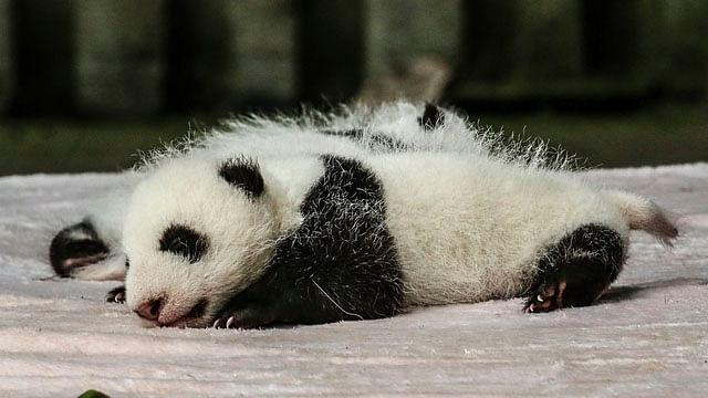 Panda gigante da a luz a dos crías gemelas en zoológico de Francia