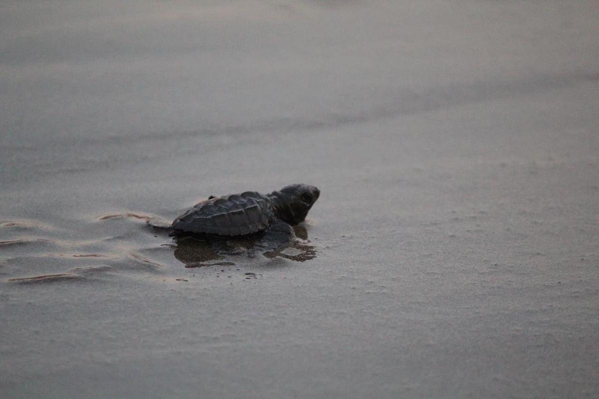 Costa de Michoacán, santuario de la tortuga marina