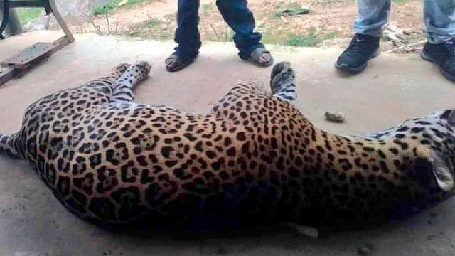 Campesino envenena a jaguar por matar a su burro