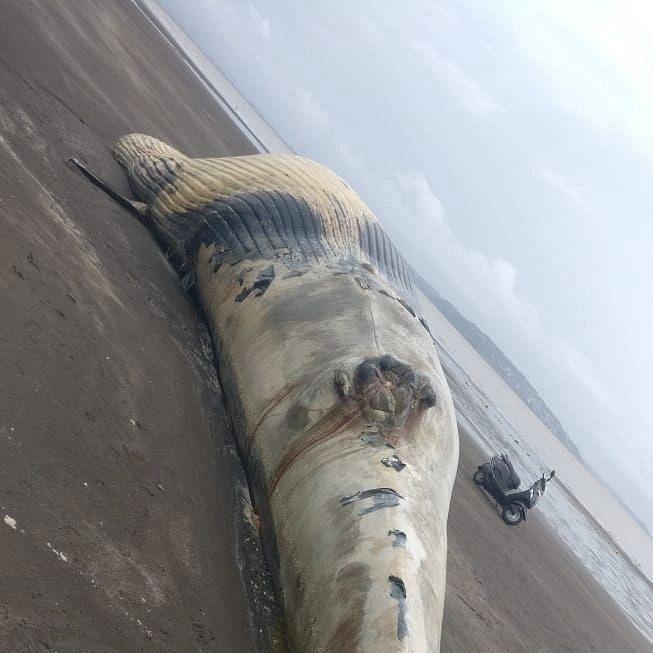 वसईत बीचवर सापडला भला मोठा व्हेल मासा