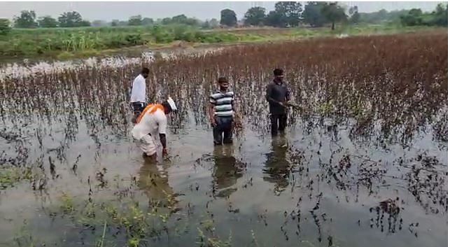 पावसामुळे वाया गेलेल्या पिकाकडे हताशपणे पाहताना शेतकरी