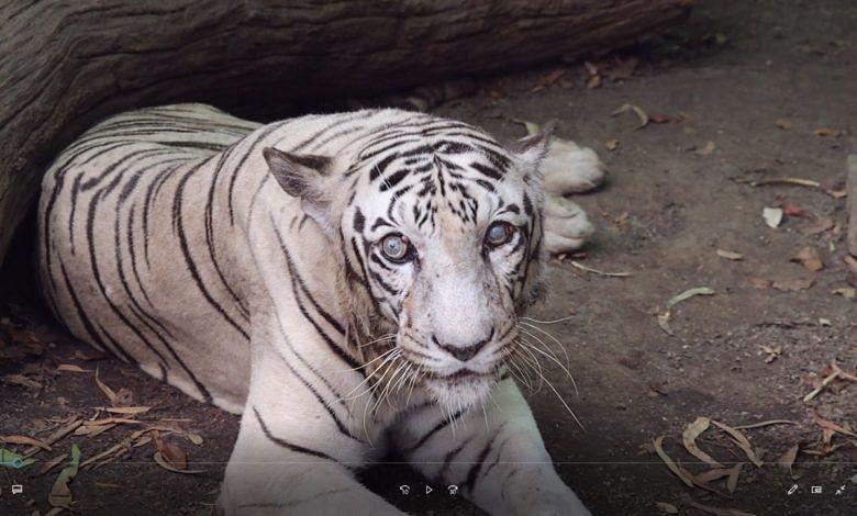 पुण्यातील राजीव गांधी प्राणी संग्रहालयातील प्रियदर्शनी वाघिणीचा मृत्यू