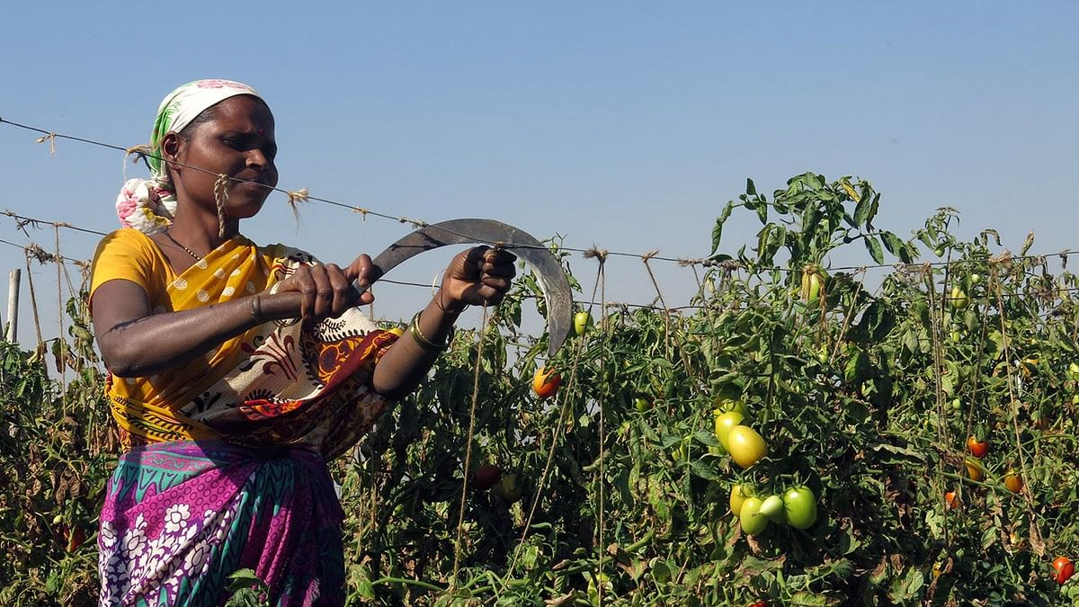 Demonetisation takes the sauce out of Nashik's tomatoes