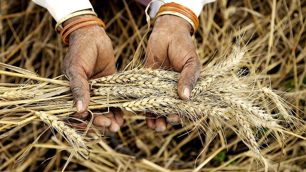 Yoginder Alagh: Wheat import sans tariff hits Indian farmers