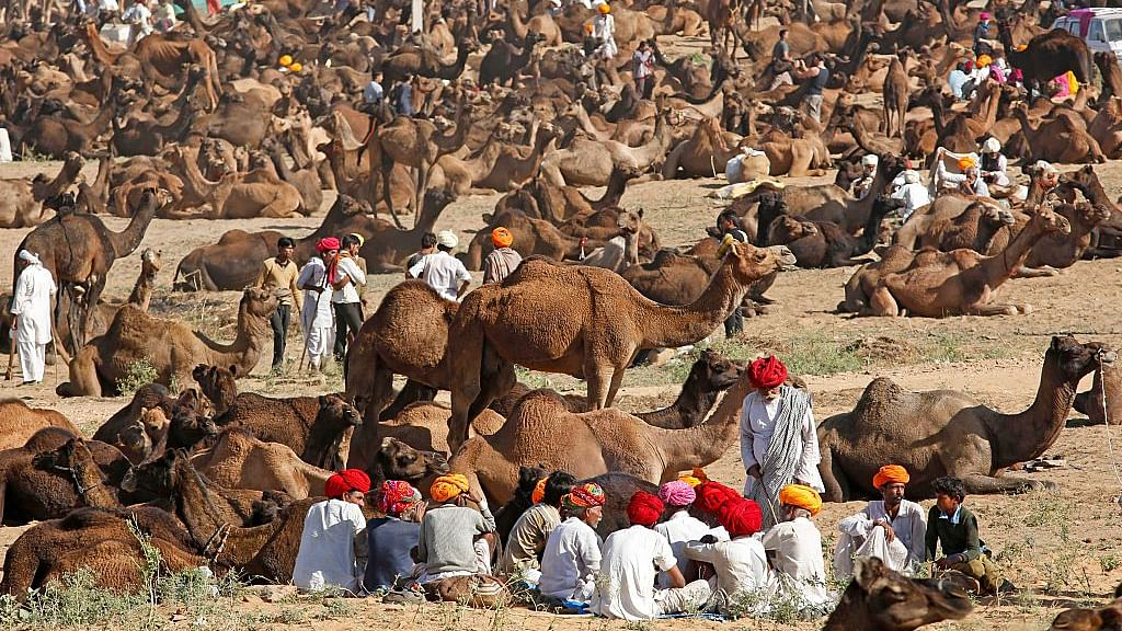 Alwar casts a shadow on Pushkar cattle fair
