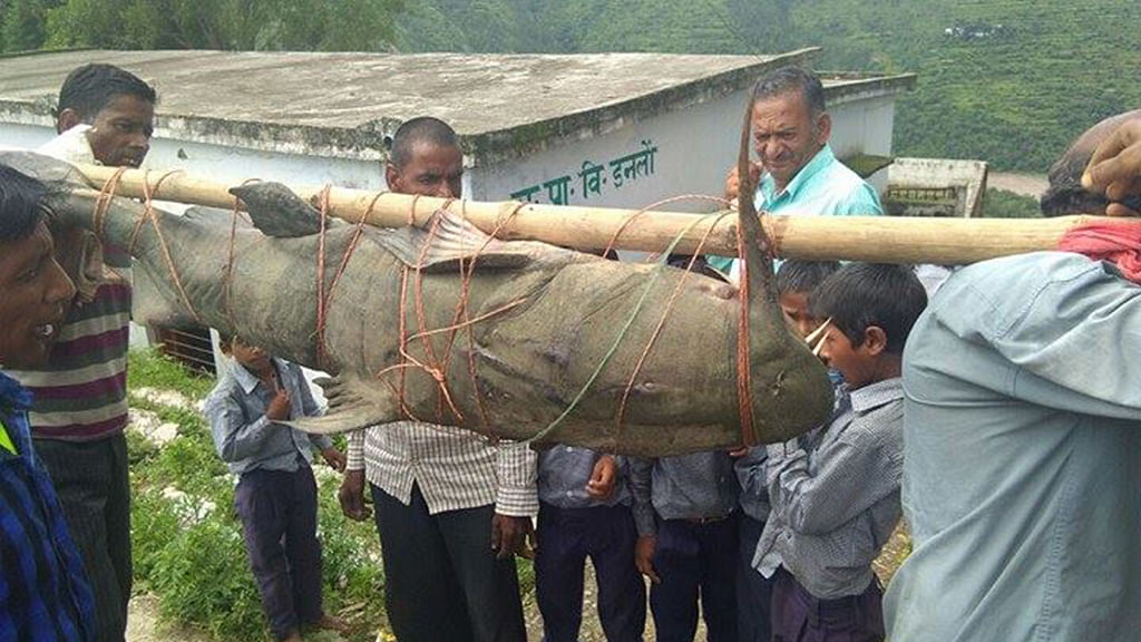 Catching giant cat fish lands Uttarakhand villagers in trouble