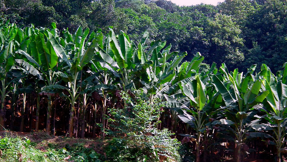 Nipah Virus: After UAE, now Saudi Arabia bans produce from Kerala