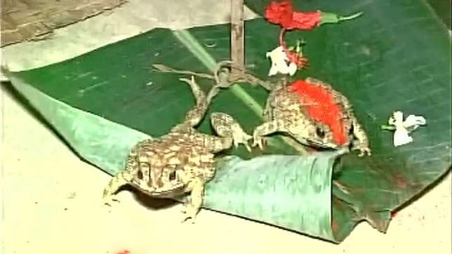 After marriages in MP & UP, frog sacrifices in Bihar to please rain gods