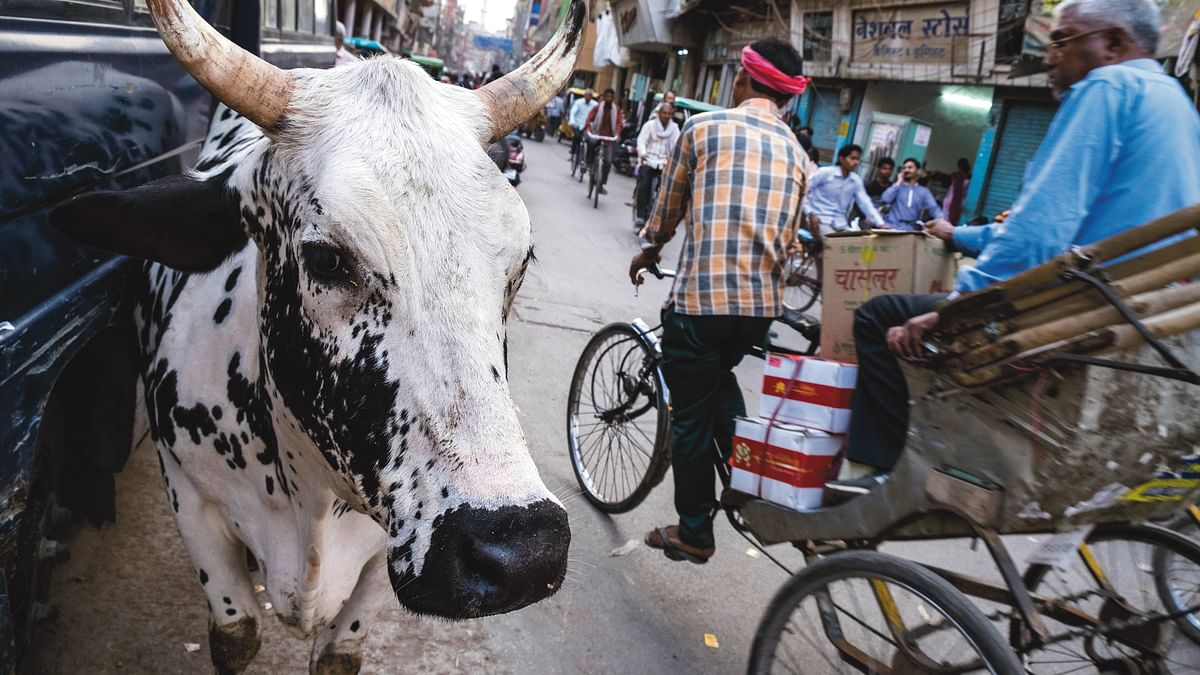 In Yogi's UP, stray cattle turn into farmers' foes