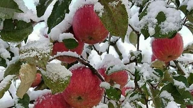 Kashmir: Heavy snowfall wreaks havoc on apple orchards
