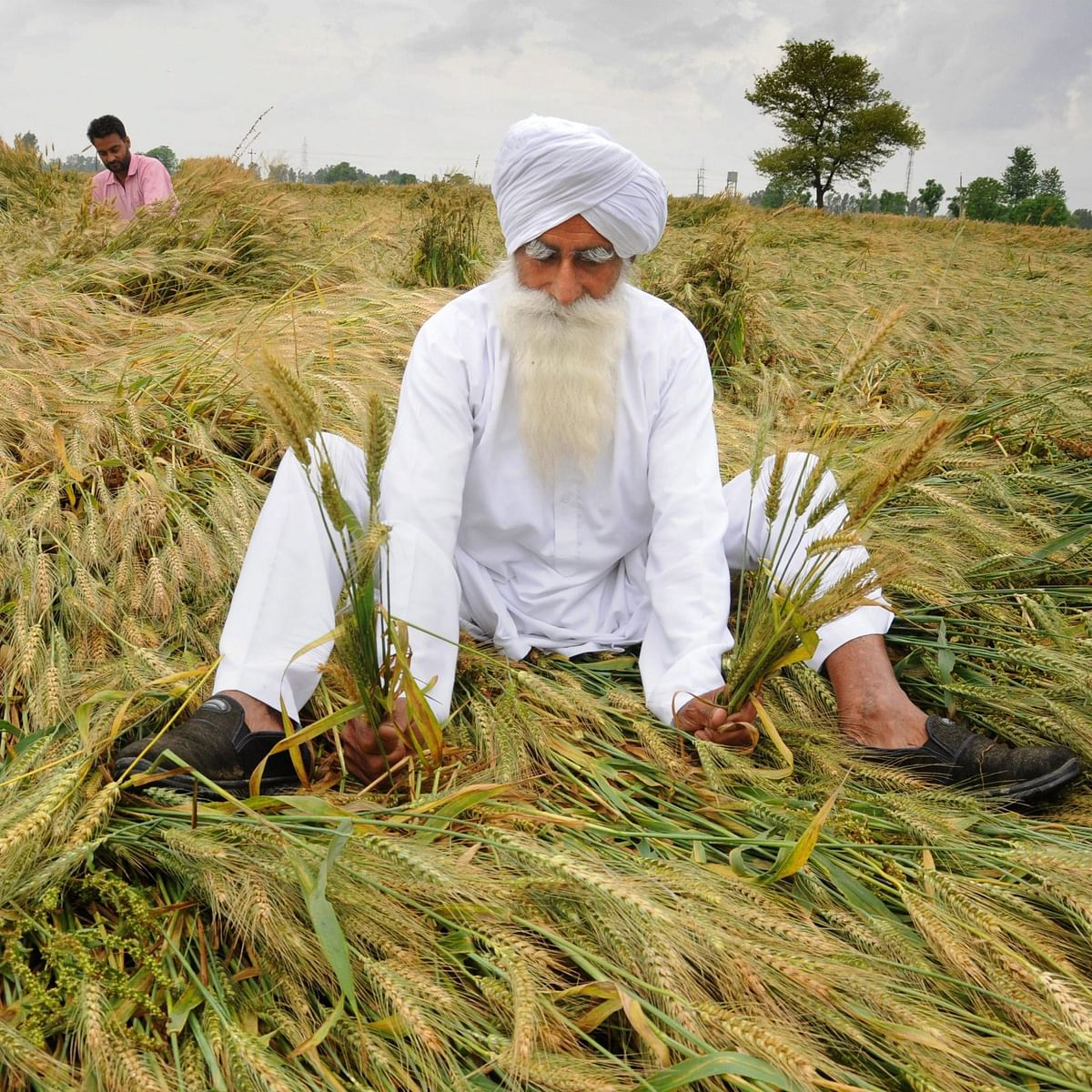 A farmer shows his wheat crop flattened and damaged by strong winds and rains, on the outskirts of Amritsar (IANS)