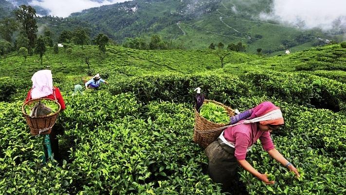 A silent undercurrent in the tea gardens of Upper Assam