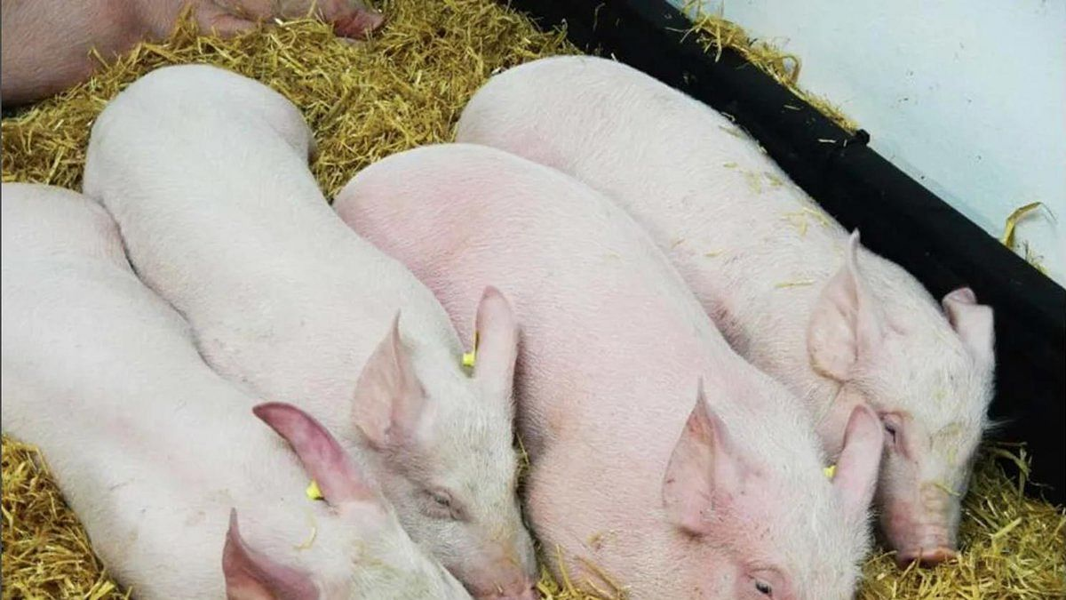 Vietnam culls over 2.84 million pigs amid African swine fever spread