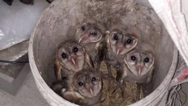 5 owls being delivered to occultist for sacrifice on Diwali saved