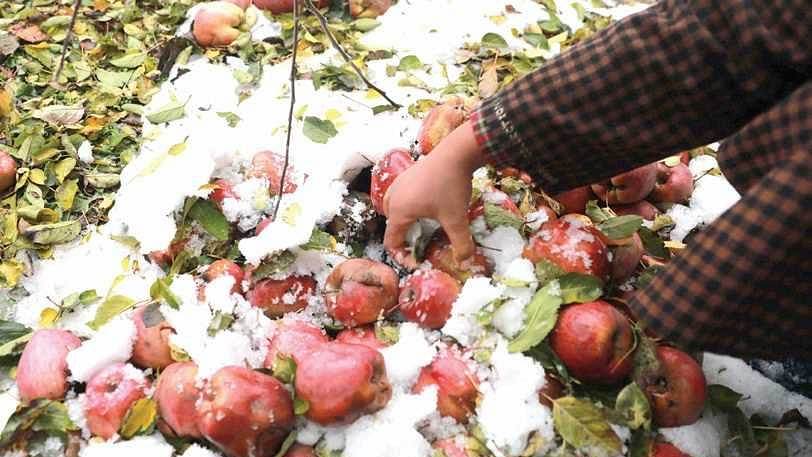 Kashmiri farmers distraught as untimely snowfall wreaks havoc on apple orchards