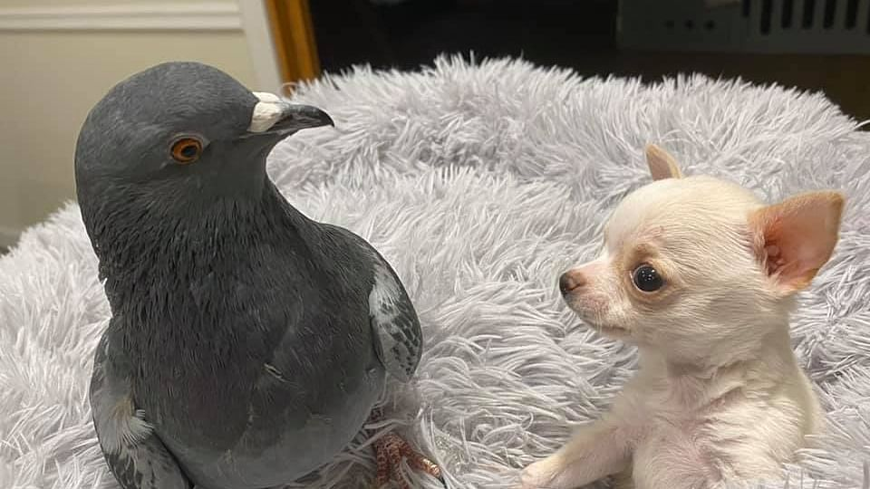 True friendship: A flightless pigeon and puppy who can't walk are best buds; win hearts on social media