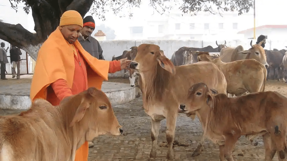 """UP: 9,261 cattle died in  shelters in 2019, mere chanting of """"Gau mata ki jai"""" will not do, says BJP MLA"""