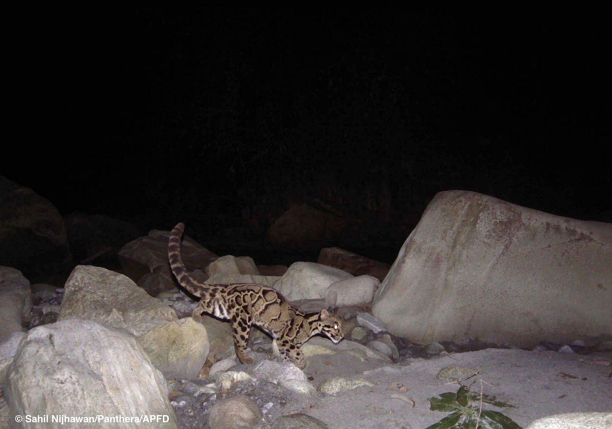 Clouded leopard in Dibang Valley