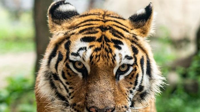 Forest officials investigate if Covid-19 killed 10-year-old tiger in MP reserve