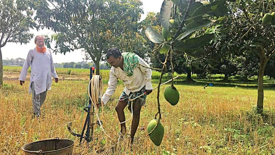 Mango growers to incur unprecedented losses