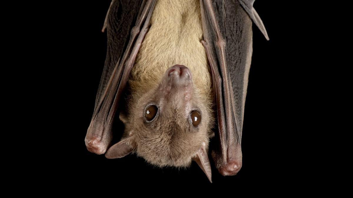 Bat coronavirus found in two Indian bat species: study