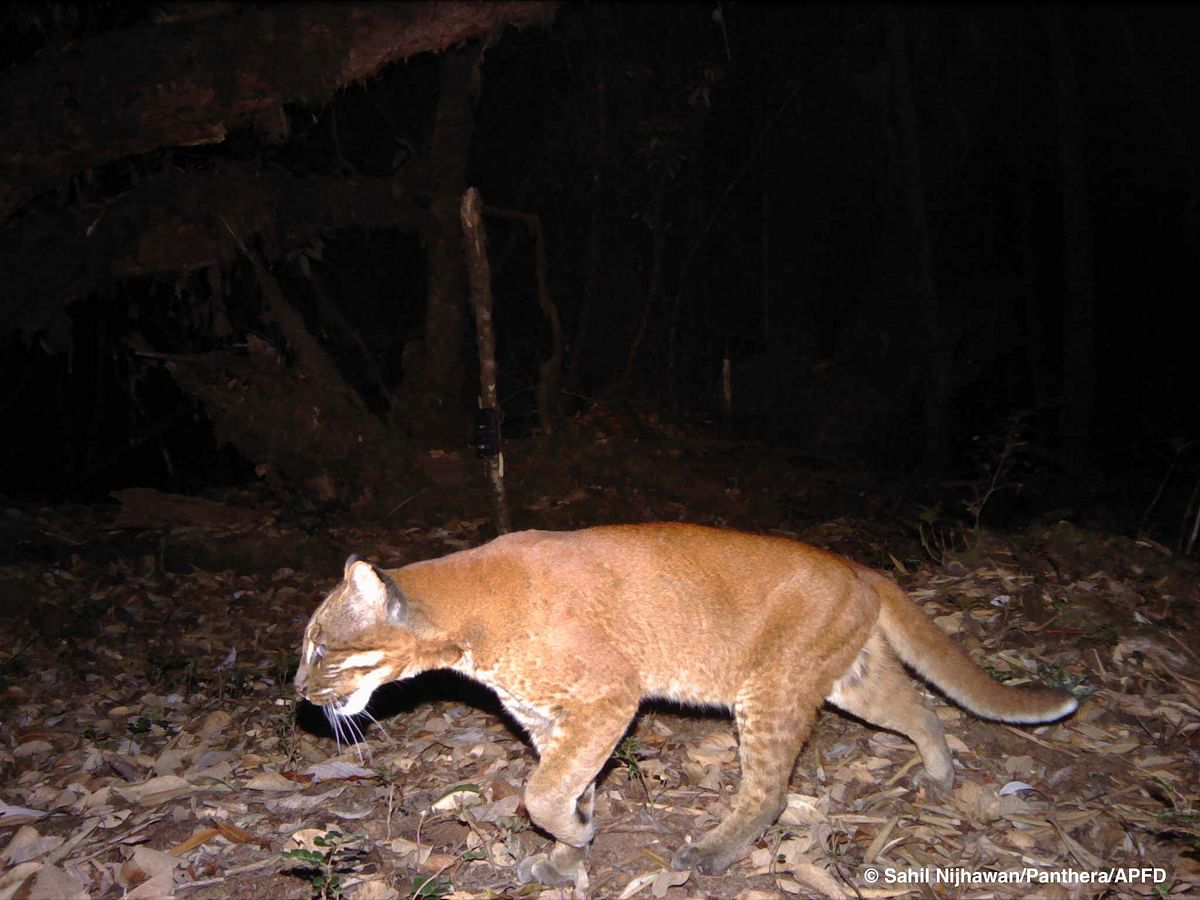 The Dibang Valley hosts the highest colour variation of any wild cat species in the world. Six different colour morphs of the Asian golden cat have been recorded here