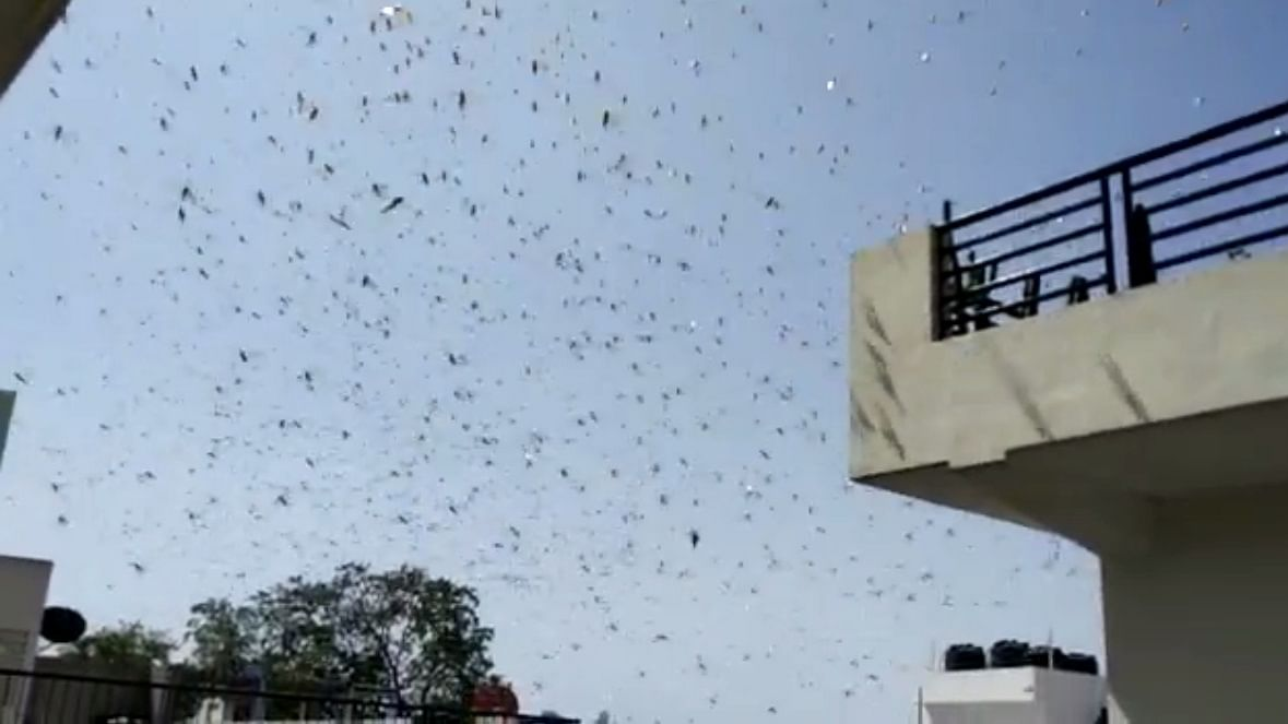 For the first time drones and planes to fight locust menace in Rajasthan