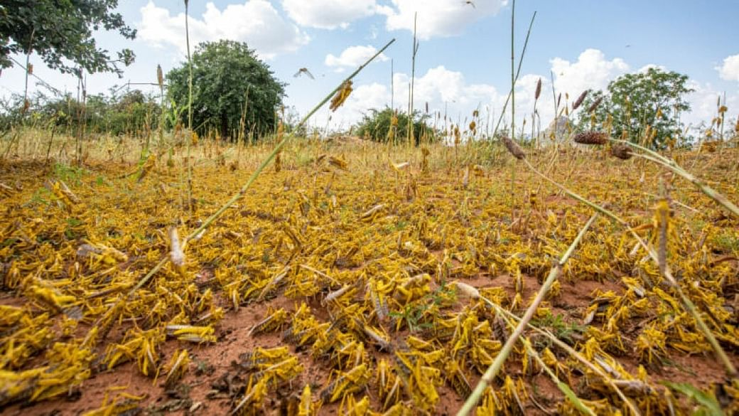 Now locusts attack crops in western Madhya Pradesh, agriculture ...
