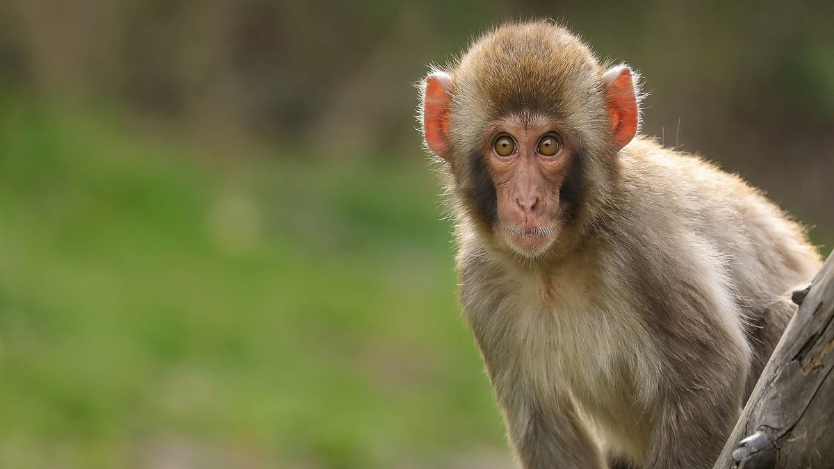 This monkey will serve life term in captivity