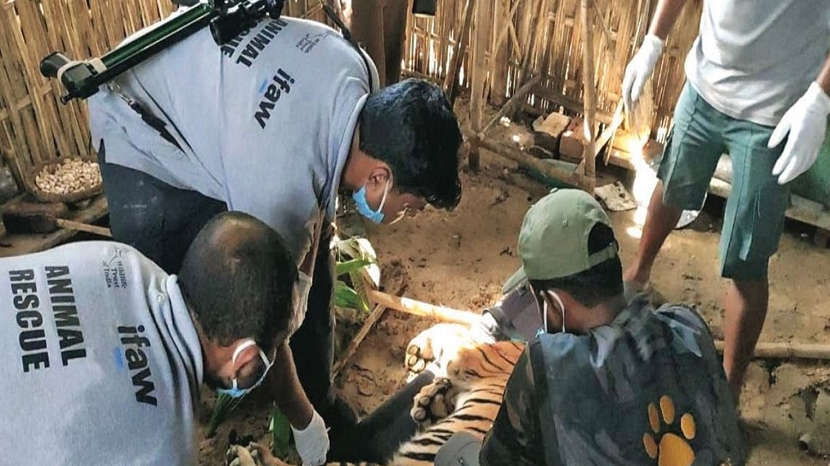 When a big cat decides to spend the night in the kitchen: Rescuing tigers in Kaziranga by WTI