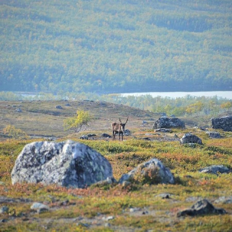 When Arctic tundra greens, it can impact wildlife species including reindeer and caribou (Photo Courtesy: IANS)