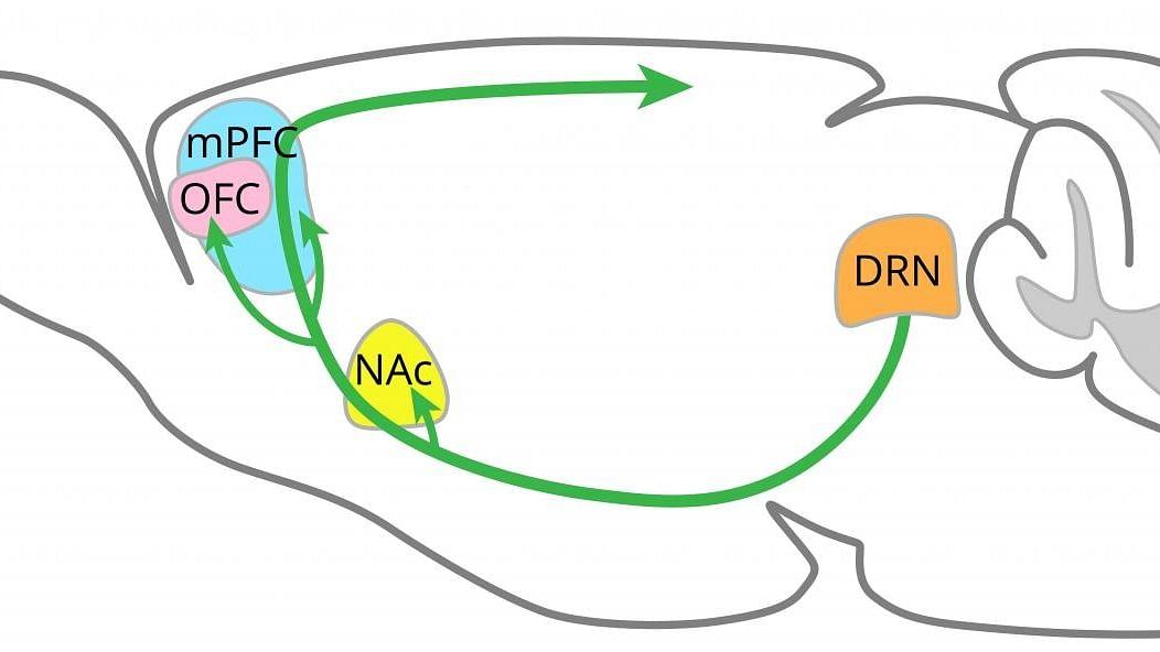 Regions of brain where serotonin promotes patience identified