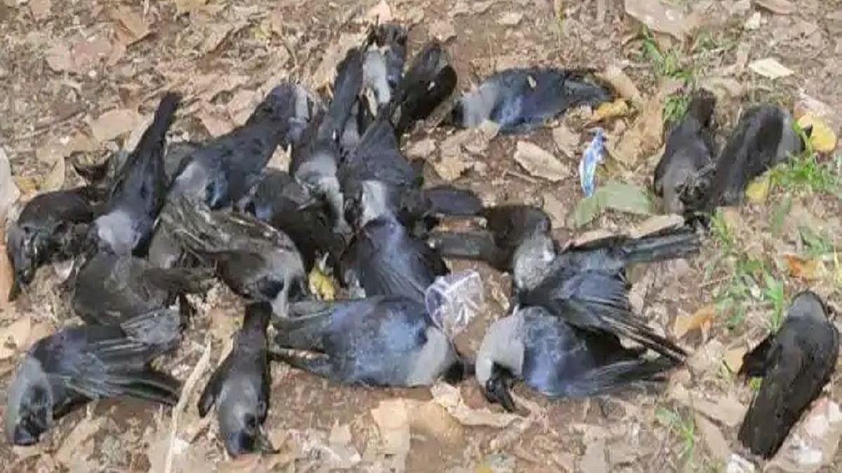 Over 150 crows found dead in Jammu region triggering bird flu scare