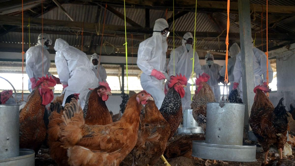 Don't panic, eat poultry product cooked at high temp: Delhi govt advisory amid bird flu scare