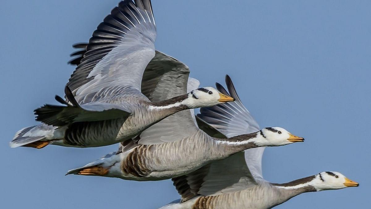 Alarm sounded after over 1,000 migratory birds die in Himachal