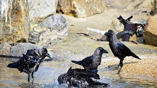 7 crows found dead in Karnataka, triggers bird flu panic