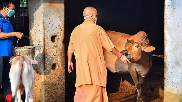 Reality Bites: 'Calming' cows for BJP ministers