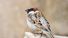 Even the house sparrow had become a rarity in cacophonous Delhi