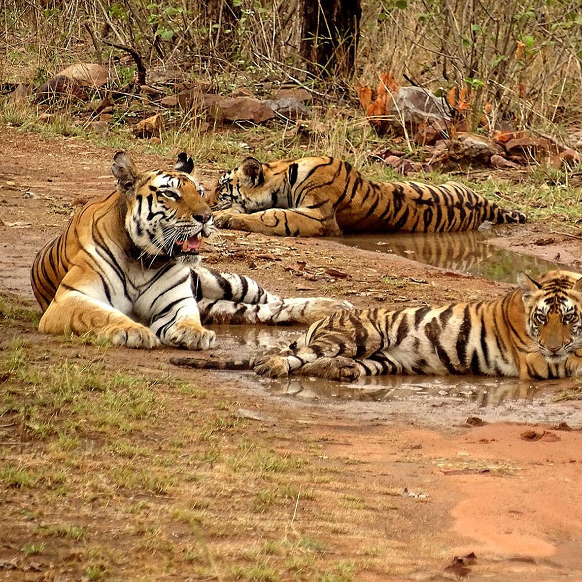 Panna Tiger reserve threatened by Ken-Betwa project