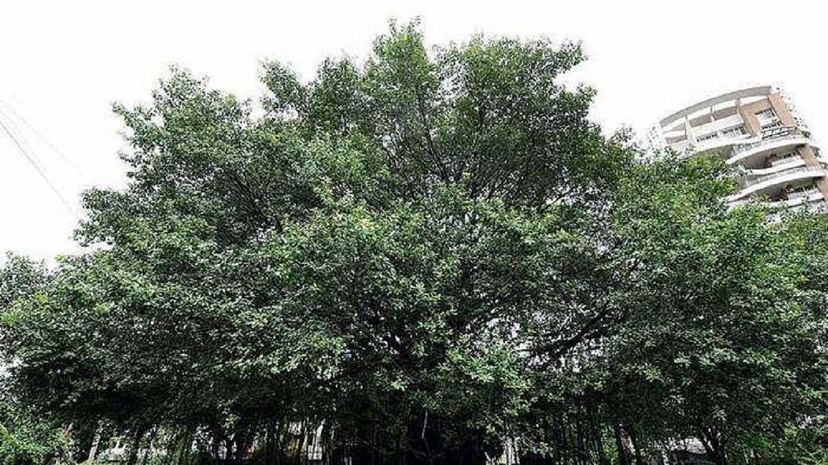 Maharashtra to give 50-year-old urban trees 'heritage' tag