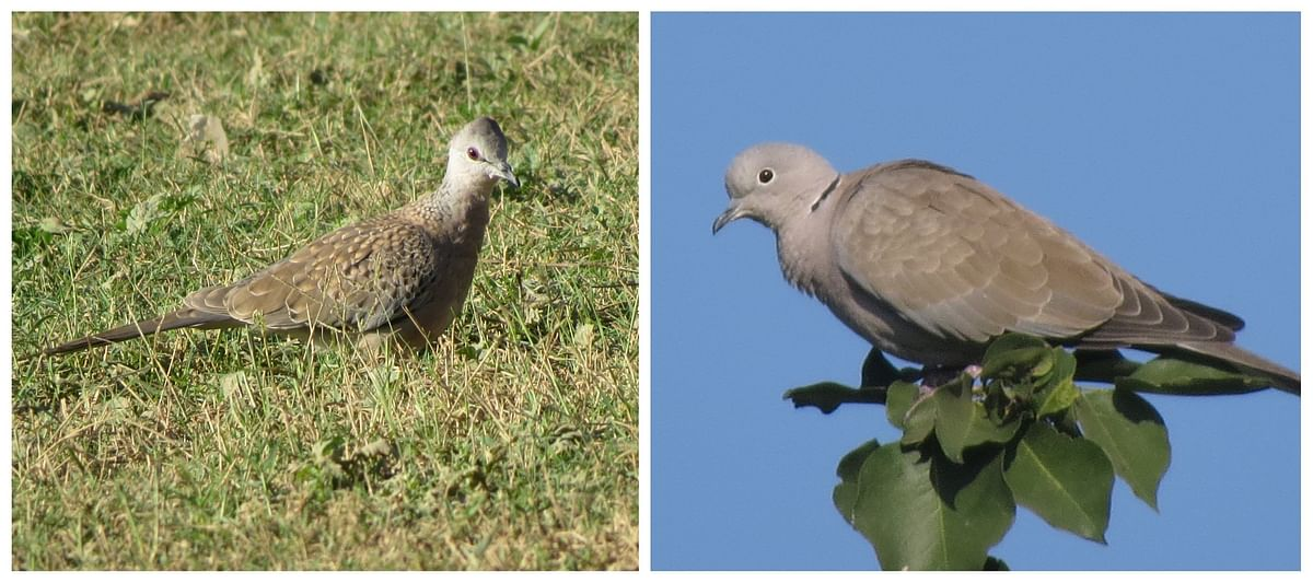 Spotted Dove (left) and Eurasian Collared Dove