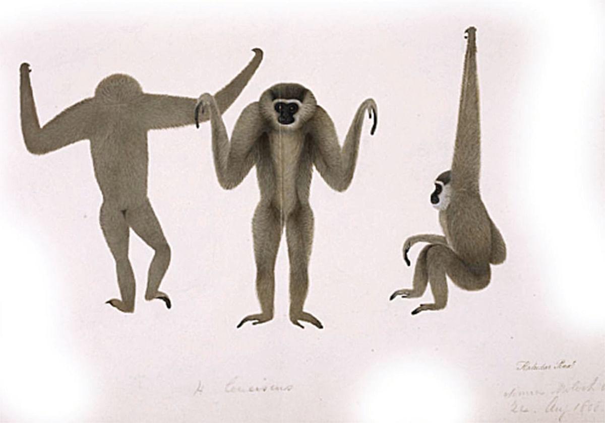 Moloch gibbon drawn for Francis Buchanan by Haludar