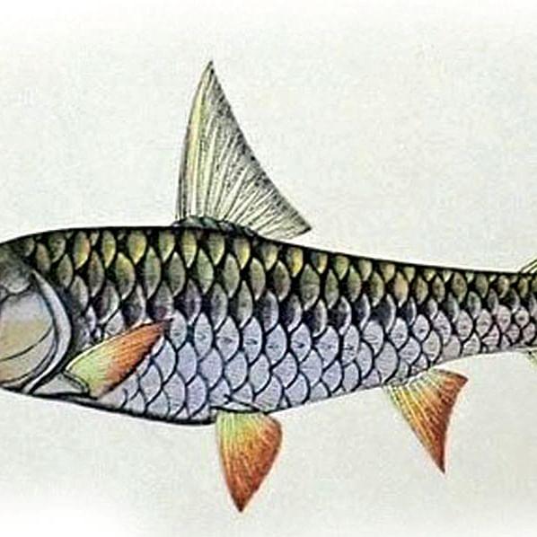 Illustration of Tortor by Haludar
