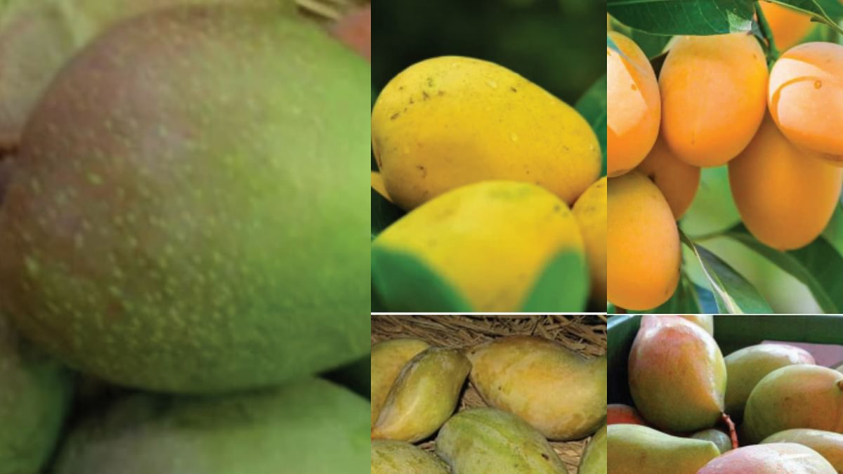 Is there an Indian mango or a UP mango and mangoes from the South?
