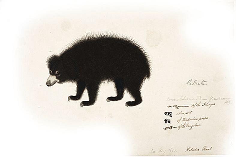Sloth bear drawn for Francis Buchanan by Haludar, c. 1799-1806