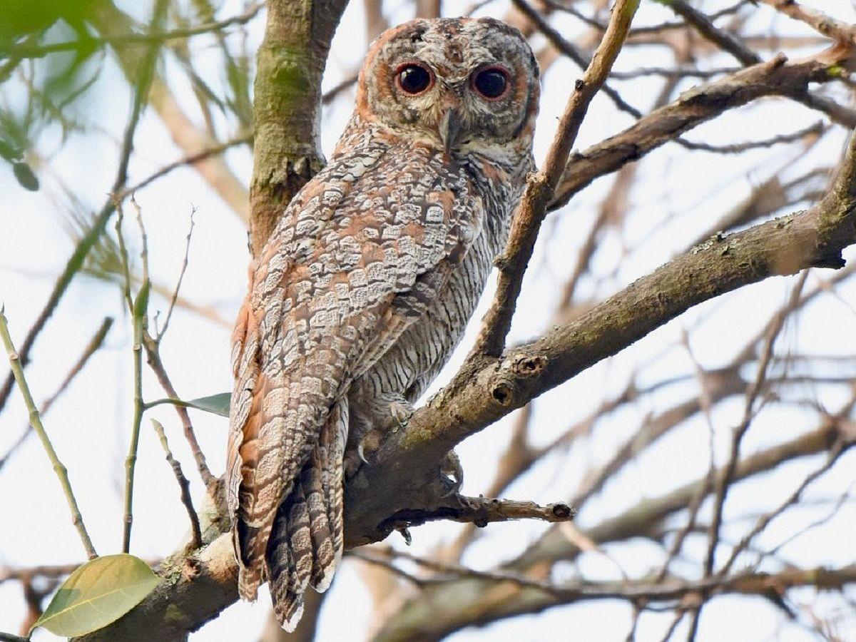 Doctor sights rare owl species in Prayagraj