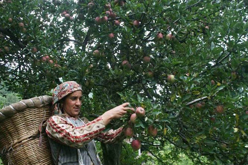 Panic among Kashmir's apple orchardists due to adverse weather forecast, high cost because of workers' exodus